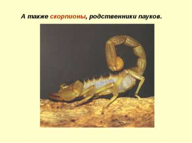 А также скорпионы, родственники пауков.