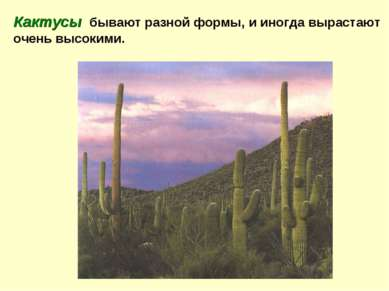 Кактусы бывают разной формы, и иногда вырастают очень высокими.