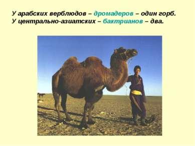 У арабских верблюдов – дромадеров – один горб. У центрально-азиатских – бактр...