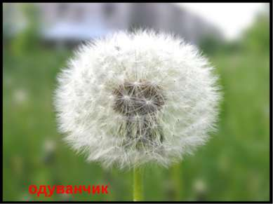 одуванчик Есть один такой цветок, Не вплетешь его в венок, На него подуй слег...