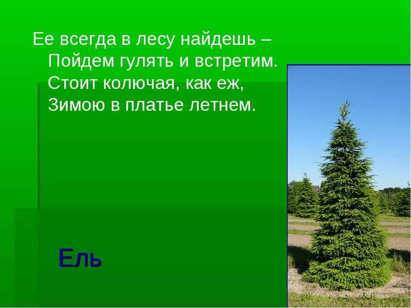 Ель Ее всегда в лесу найдешь – Пойдем гулять и встретим. Стоит колючая, как е...