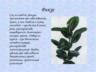 Фикус Сок из стебля фикуса применяют при заболеваниях кожи, а сам стебель и к...