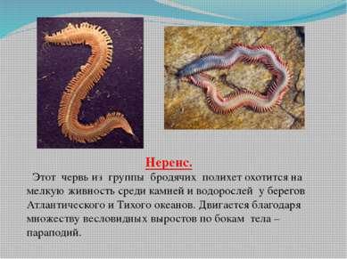 Нереис. Этот червь из группы бродячих полихет охотится на мелкую живность сре...