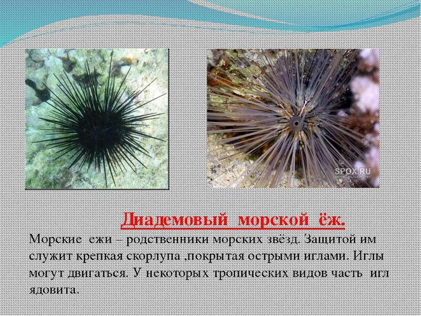 Диадемовый морской ёж. Морские ежи – родственники морских звёзд. Защитой им с...