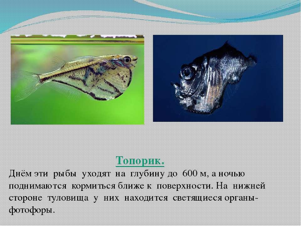 Топорик. Днём эти рыбы уходят на глубину до 600 м, а ночью поднимаются кормит...