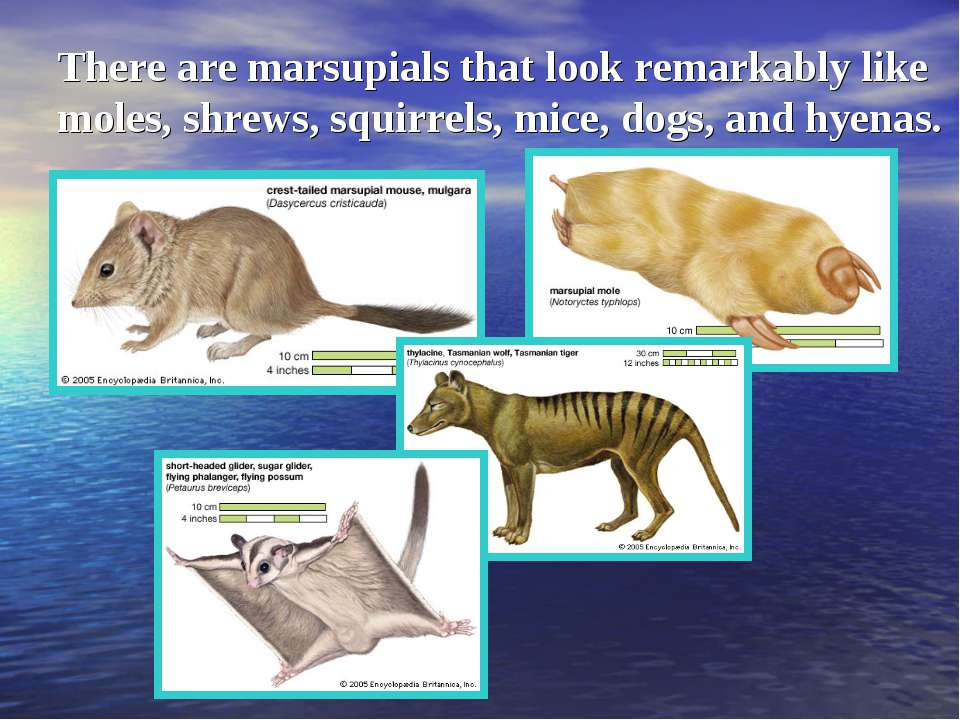 There are marsupials that look remarkably like moles, shrews, squirrels, mice...