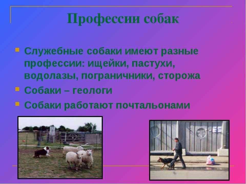 Профессии собак Служебные собаки имеют разные профессии: ищейки, пастухи, вод...