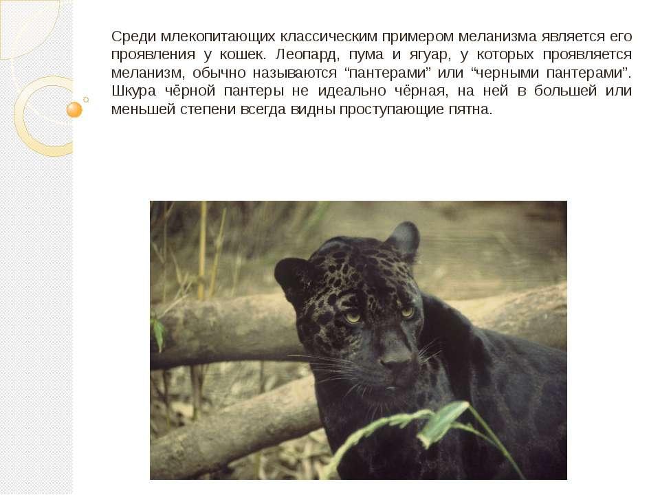 Среди млекопитающих классическим примером меланизма является его проявления у...