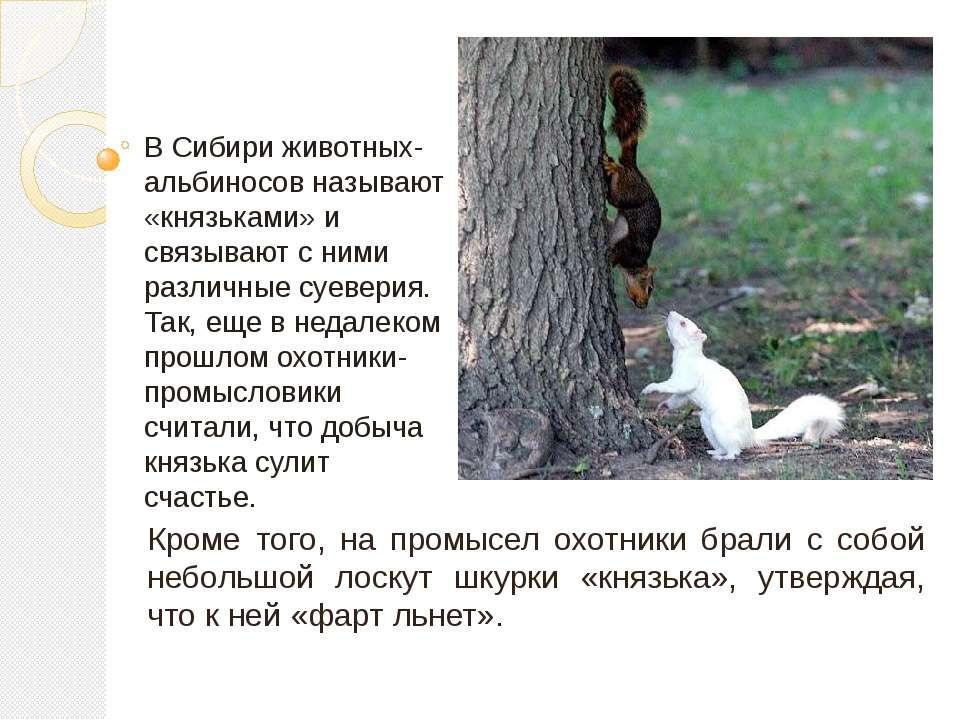 В Сибири животных-альбиносов называют «князьками» и связывают с ними различны...