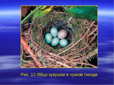 Рис. 12 Яйцо кукушки в чужом гнезде