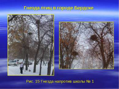 Гнезда птиц в городе Бердске Рис. 15 Гнезда напротив школы № 1