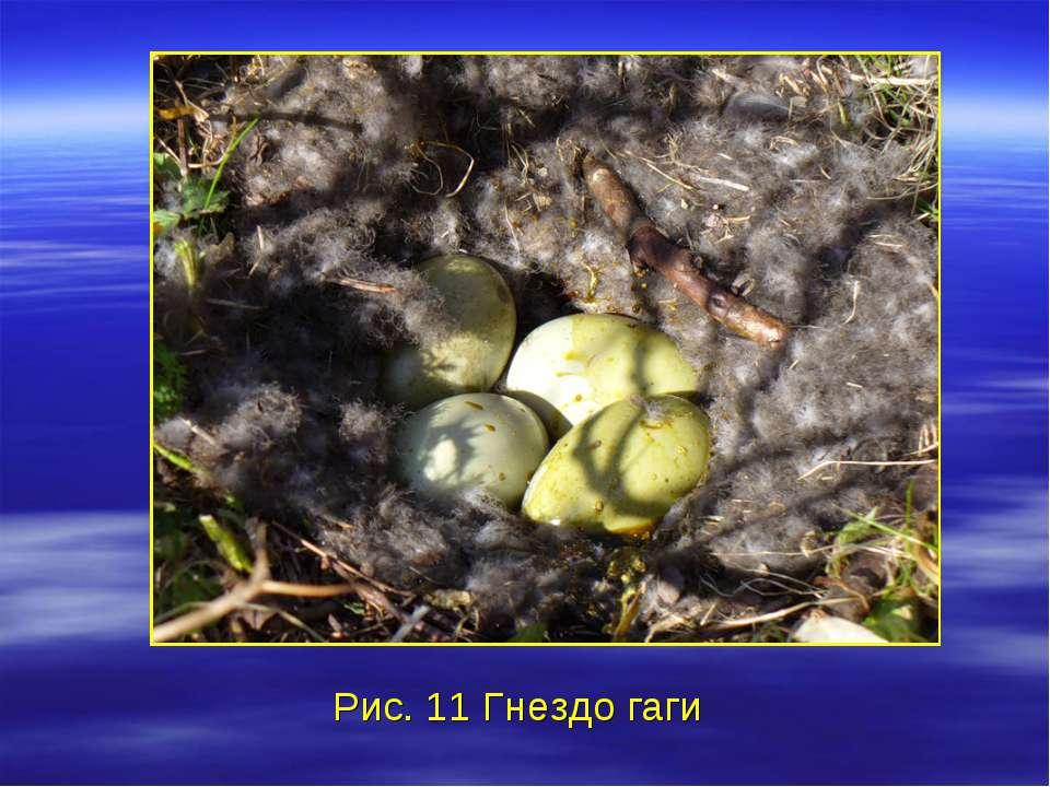 Рис. 11 Гнездо гаги