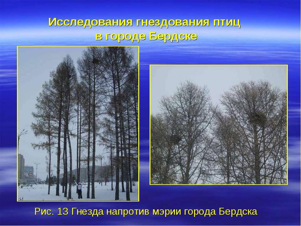 Исследования гнездования птиц в городе Бердске Рис. 13 Гнезда напротив мэрии ...