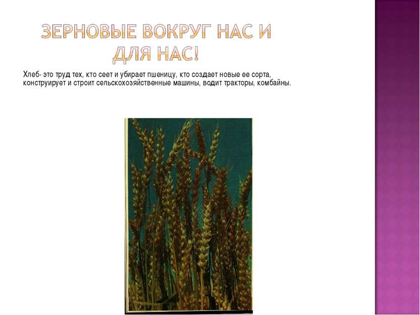 Хлеб- это труд тех, кто сеет и убирает пшеницу, кто создает новые ее сорта, к...