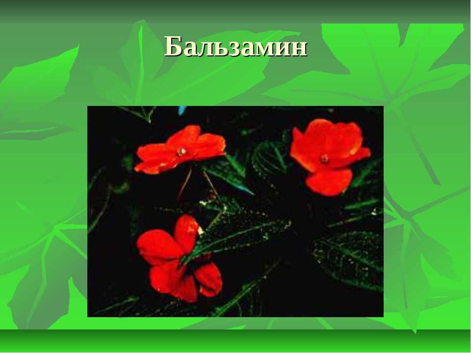 Бальзамин