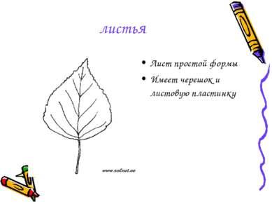 листья Лист простой формы Имеет черешок и листовую пластинку
