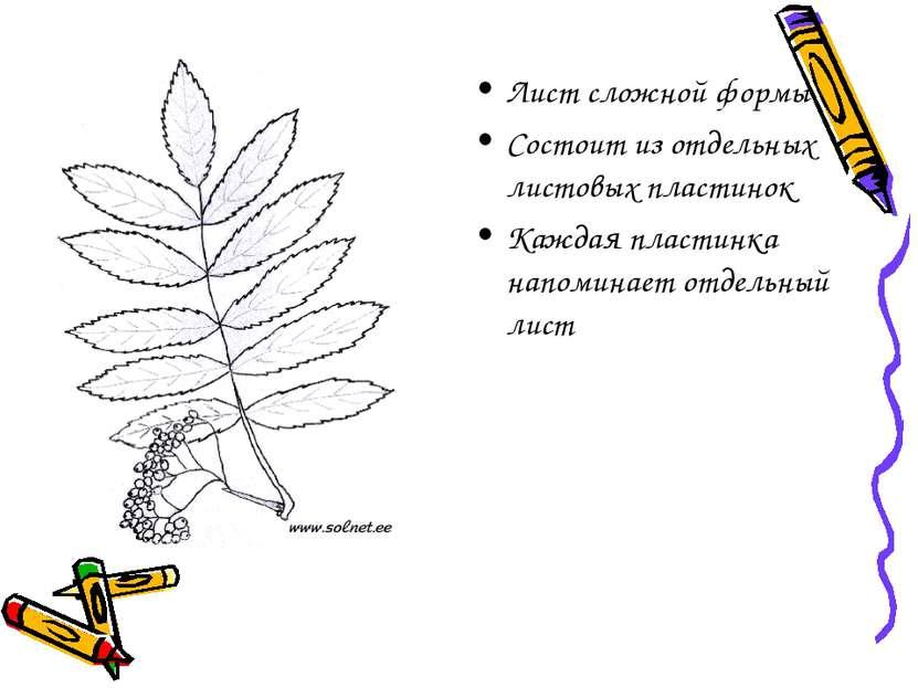Лист сложной формы Состоит из отдельных листовых пластинок Каждая пластинка н...