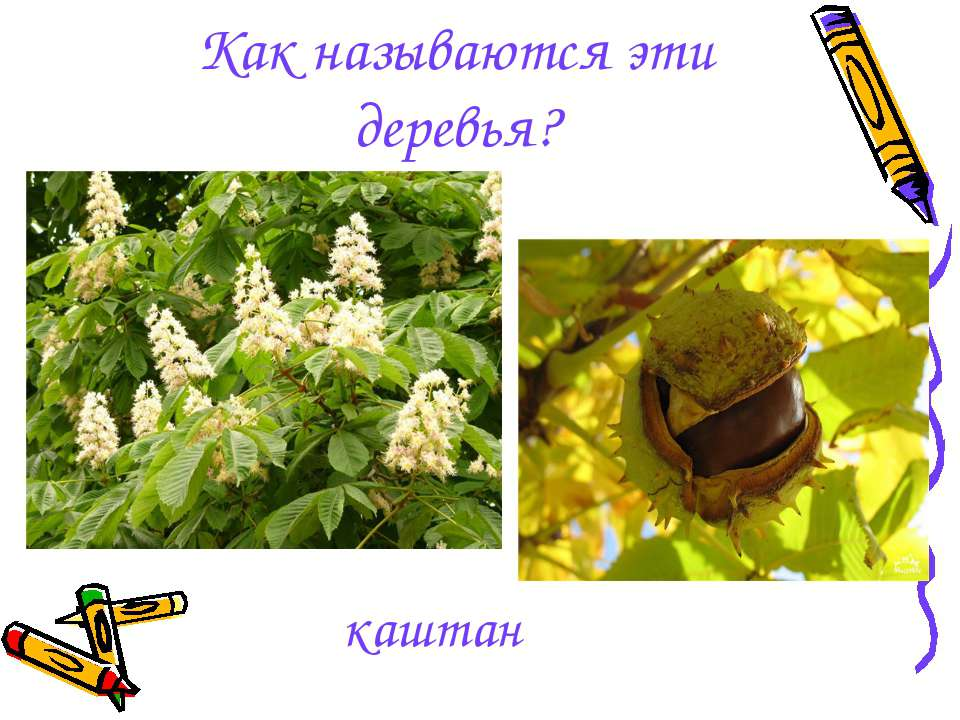 каштан Как называются эти деревья?