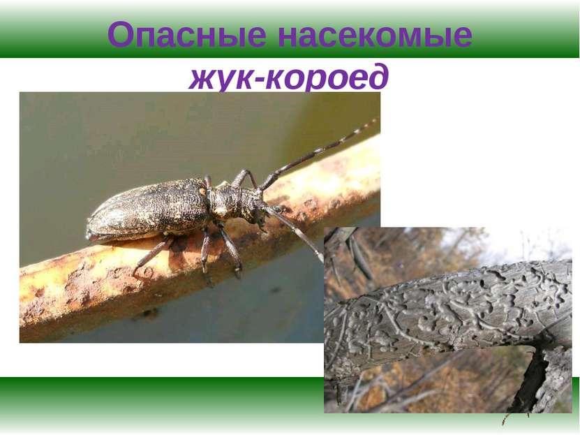 Опасные насекомые жук-короед