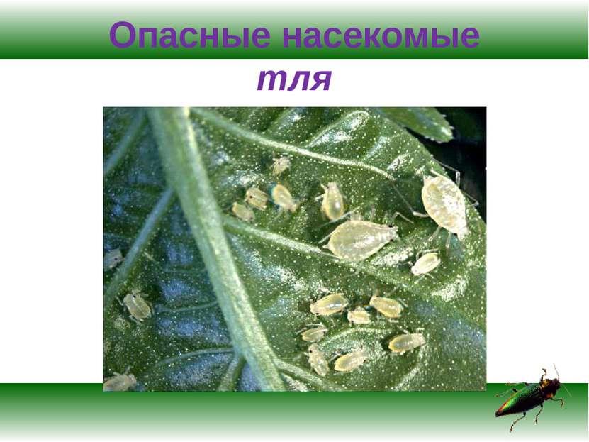 Опасные насекомые тля