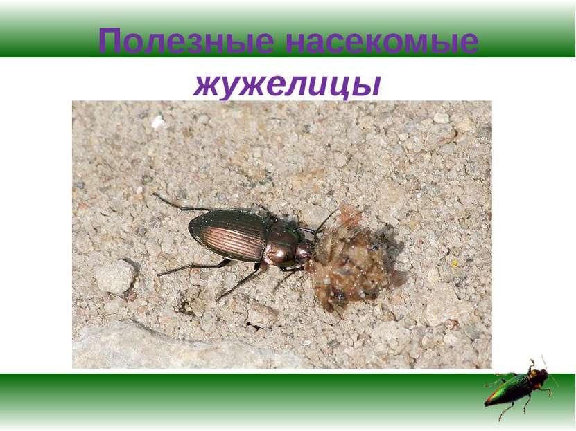 Полезные насекомые жужелицы
