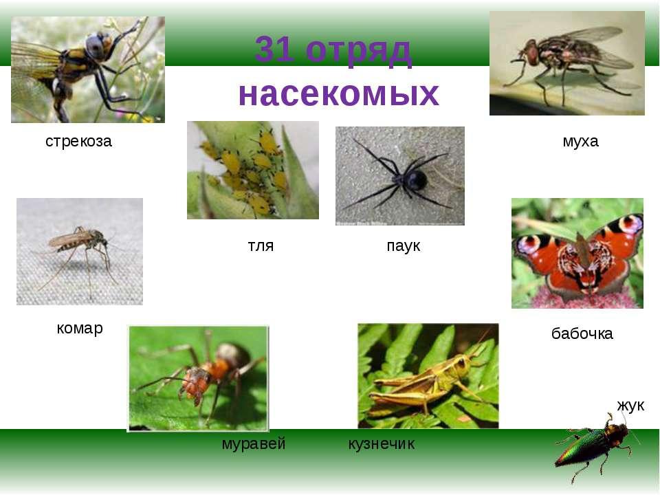 31 отряд насекомых стрекоза тля жук муха комар паук кузнечик бабочка муравей