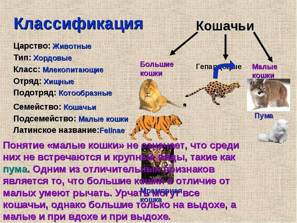 Классификация Царство: Животные Тип: Хордовые Класс: Млекопитающие Отряд: Хищ...