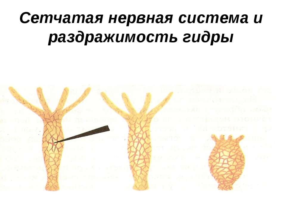 Сетчатая нервная система и раздражимость гидры