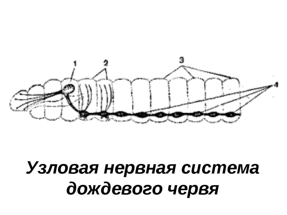 Узловая нервная система дождевого червя