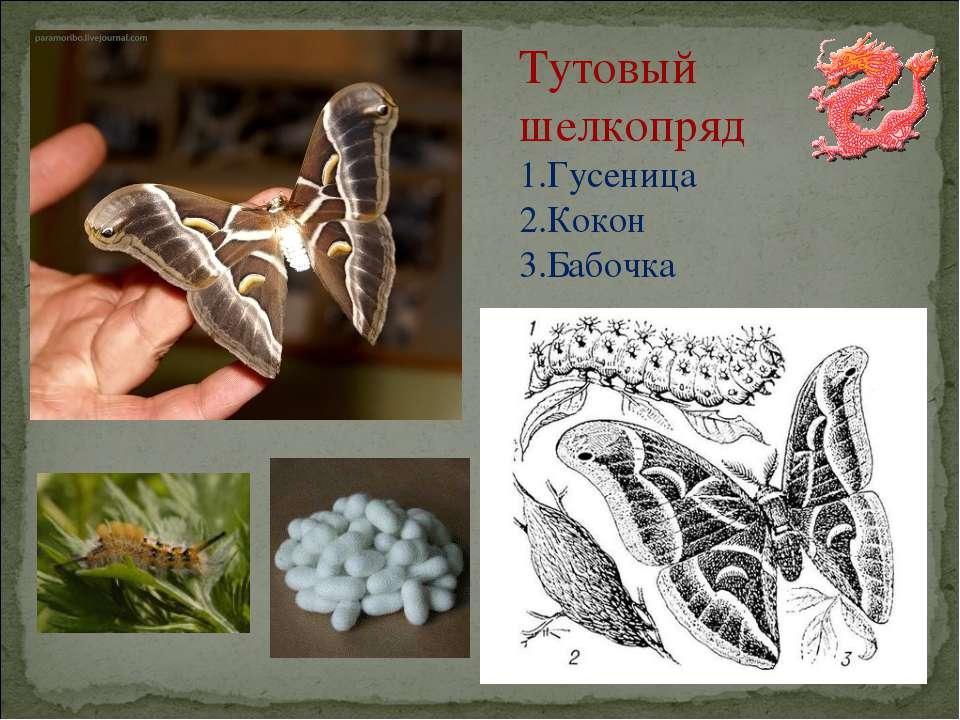 Тутовый шелкопряд Гусеница Кокон Бабочка