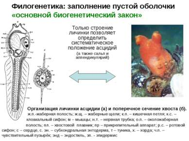 Филогенетика: заполнение пустой оболочки «основной биогенетический закон» Тол...