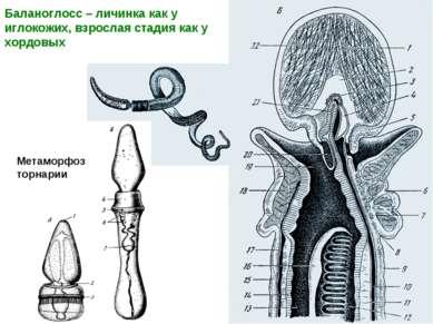 Баланоглосс – личинка как у иглокожих, взрослая стадия как у хордовых Метамор...