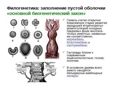 Филогенетика: заполнение пустой оболочки «основной биогенетический закон» Гек...