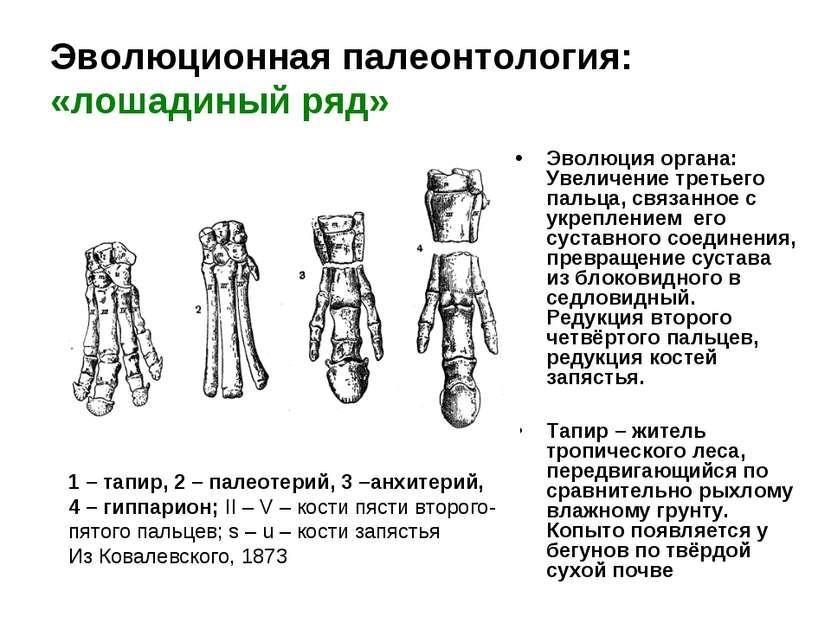 Эволюционная палеонтология: «лошадиный ряд» Эволюция органа: Увеличение треть...