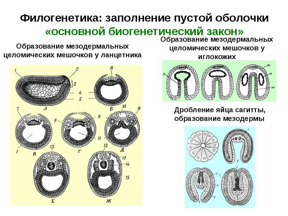 Филогенетика: заполнение пустой оболочки «основной биогенетический закон» Дро...