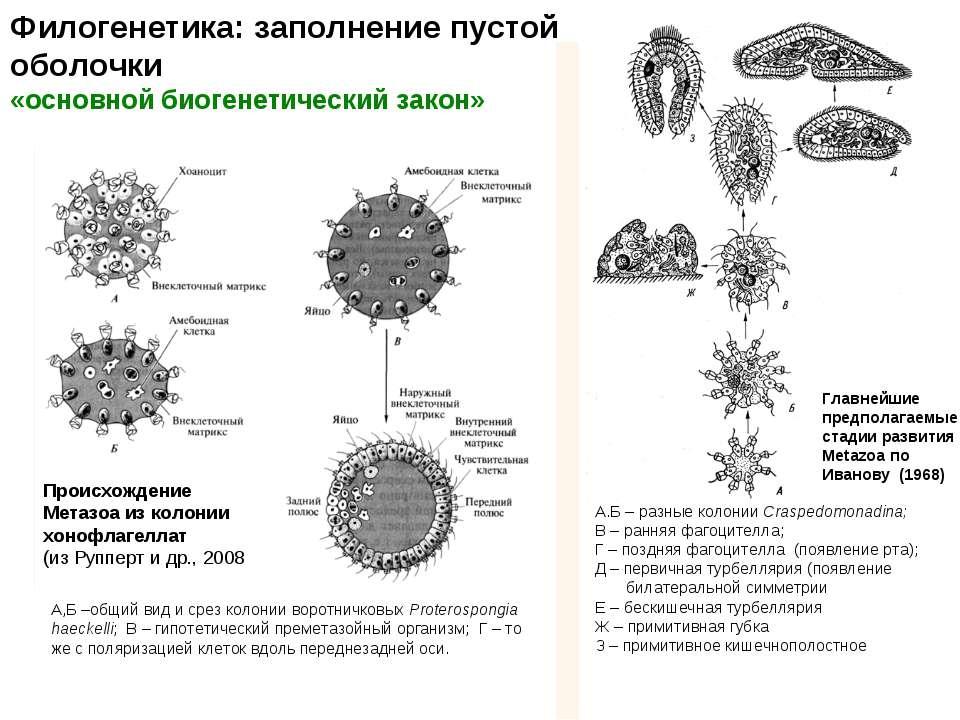 Филогенетика: заполнение пустой оболочки «основной биогенетический закон» Гла...