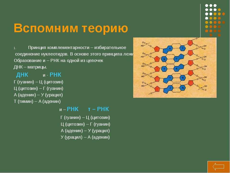 Вспомним теорию Принцип комплементарности – избирательное соединение нуклеоти...