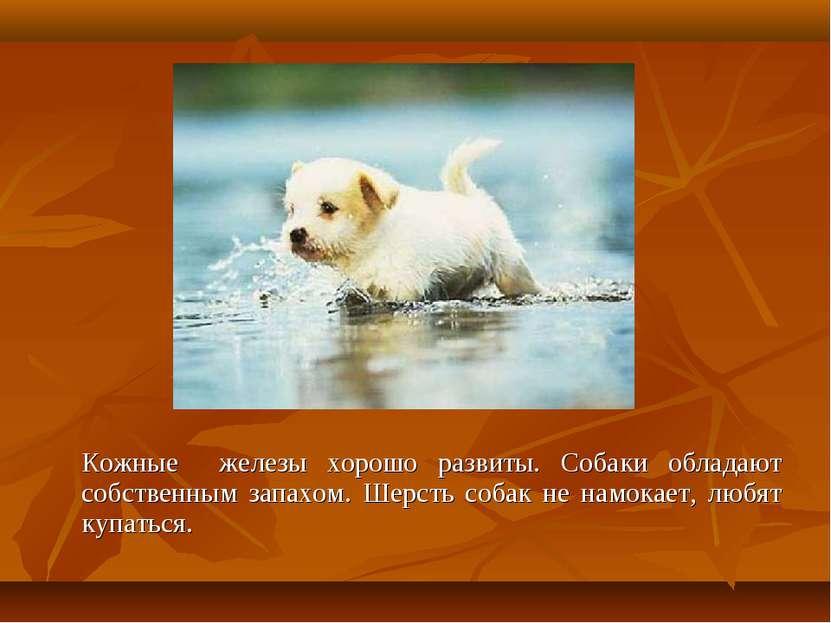Кожные железы хорошо развиты. Собаки обладают собственным запахом. Шерсть соб...