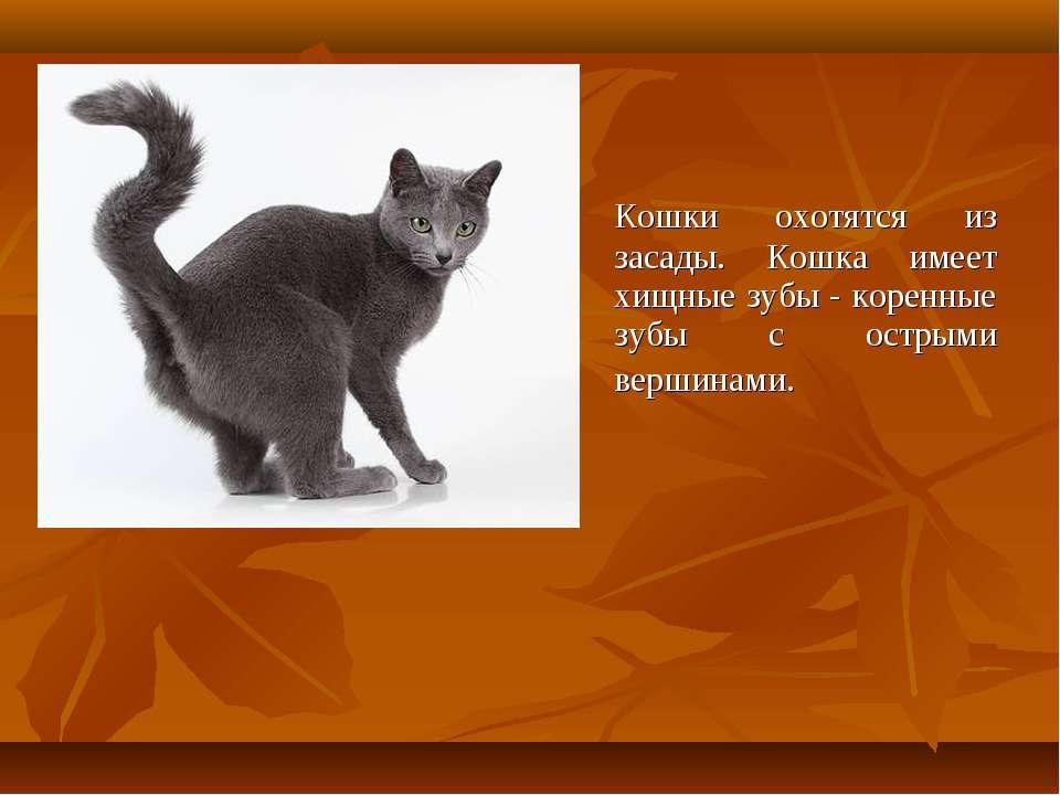 Кошки охотятся из засады. Кошка имеет хищные зубы - коренные зубы с острыми в...
