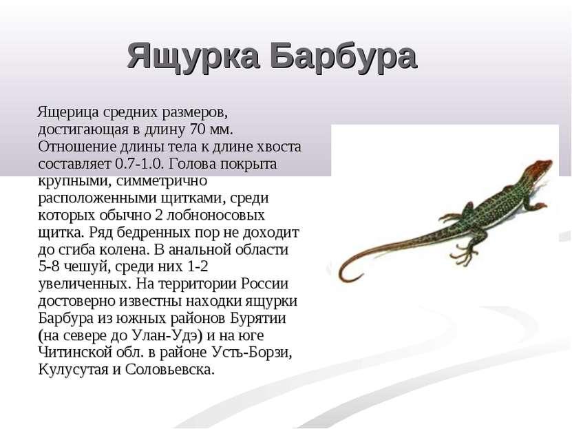 Ящурка Барбура Ящерица средних размеров, достигающая в длину 70 мм. Отношение...