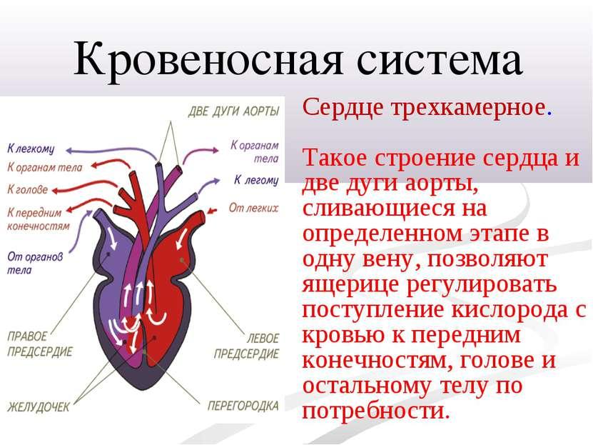 Сердце трехкамерное. Такое строение сердца и две дуги аорты, сливающиеся на о...