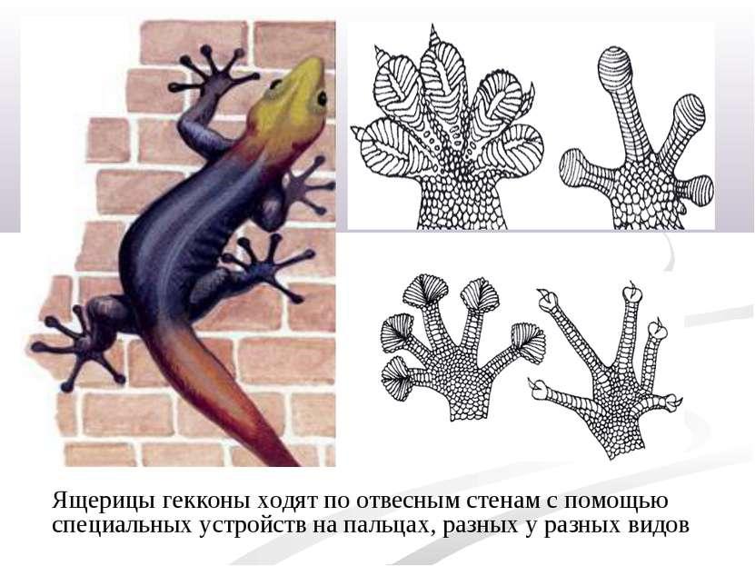 Ящерицы гекконы ходят поотвесным стенам спомощью специальных устройств на п...
