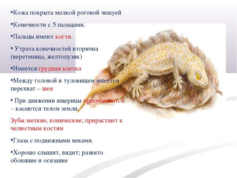 Кожа покрыта мелкой роговой чешуей Конечности с 5 пальцами. Пальцы имеют когт...