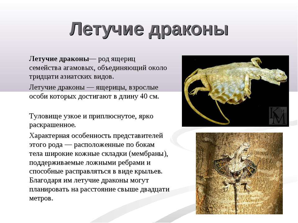Летучие драконы Летучие драконы— род ящериц семейства агамовых, объединяющий ...