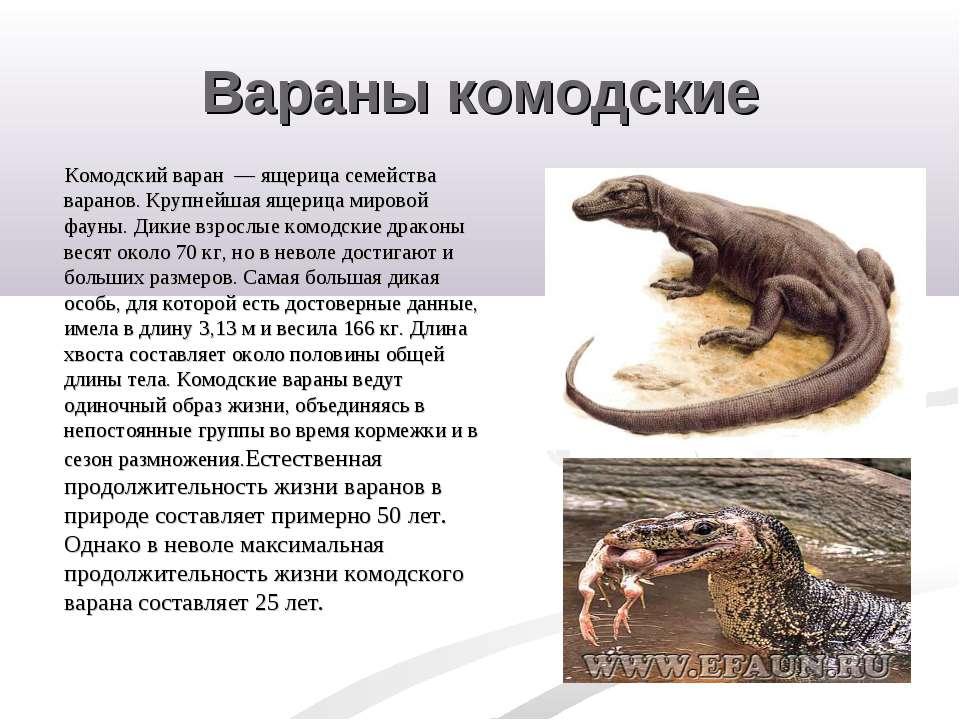 Вараны комодские Комодский варан — ящерица семейства варанов. Крупнейшая ящер...