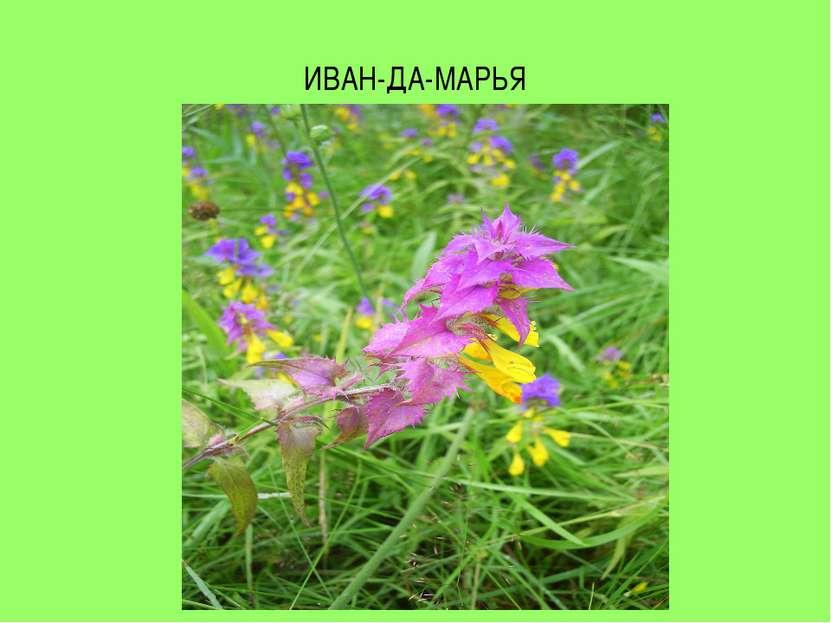 ИВАН-ДА-МАРЬЯ