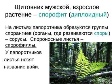 Щитовник мужской, взрослое растение – спорофит (диплоидный) На листьях папоро...