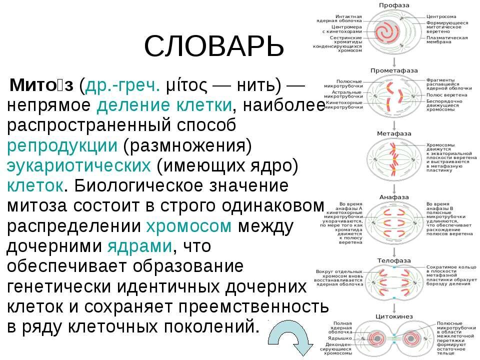 СЛОВАРЬ Мито з(др.-греч.μίτος— нить)— непрямоеделение клетки, наиболее р...