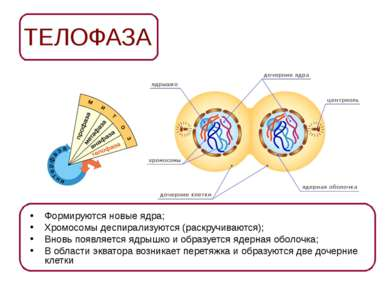 ТЕЛОФАЗА Формируются новые ядра; Хромосомы деспирализуются (раскручиваются); ...