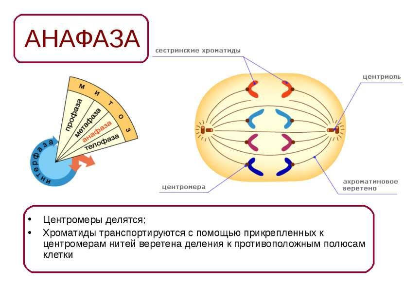 АНАФАЗА Центромеры делятся; Хроматиды транспортируются с помощью прикрепленны...
